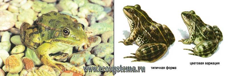 Озерная лягушка — Rana ridibunda