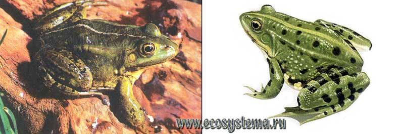 Съедобная лягушка — Rana esculenta