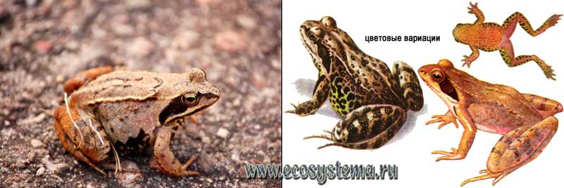Травяная лягушка — Rana temporaria