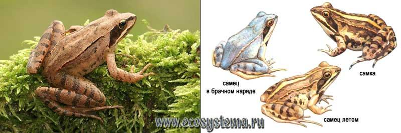 Прыткая лягушка — Rana dalmatina