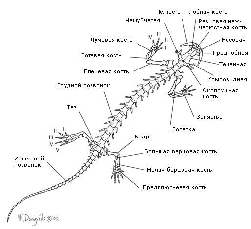 Строение скелета хвостатой