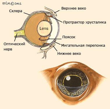 Строение глаза бесхвостых