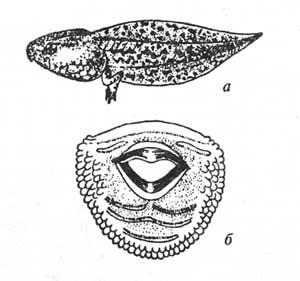Головастик и ротовой диск зеленых лягушек