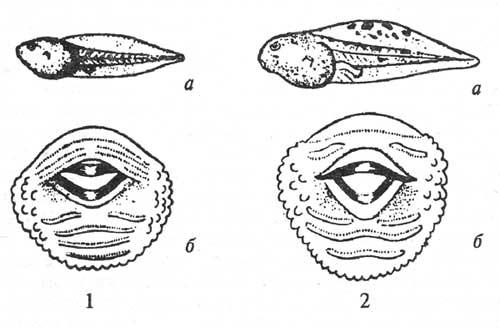 Внешний вид и ротовые диски у головастиков бурых лягушек