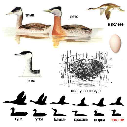 Птицы раскраска перелетные птицы