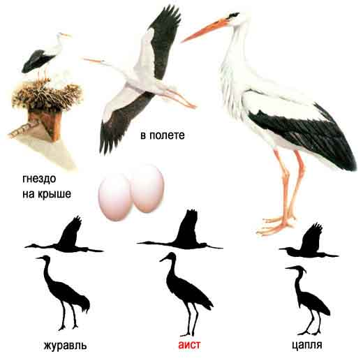 ВНЕШНИЙ ВИД.  Это крупная птица: общая длина ее достигает