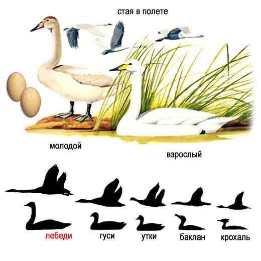Лебедь - птица года 2009.