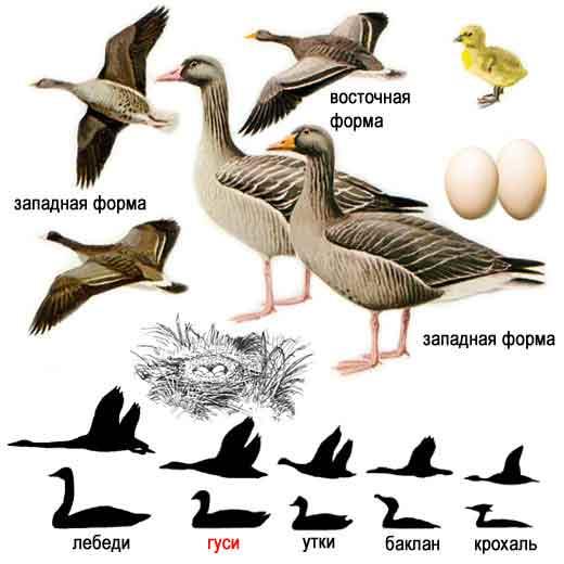 http://www.ecosystema.ru/08nature/birds/010.jpg