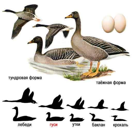 http://www.ecosystema.ru/08nature/birds/011.jpg