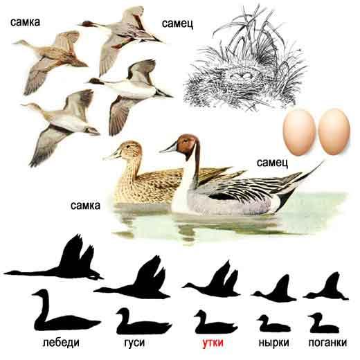http://www.ecosystema.ru/08nature/birds/014.jpg
