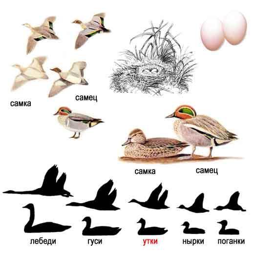 http://www.ecosystema.ru/08nature/birds/015.jpg