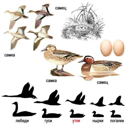 http://www.ecosystema.ru/08nature/birds/016.jpg