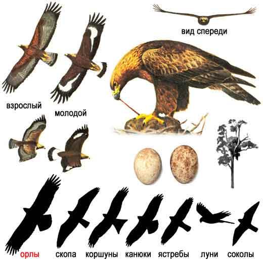 Беркут — Aquila chrysaetus