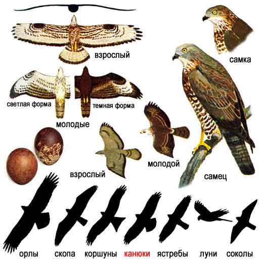 Осоед — Pernis apivorus