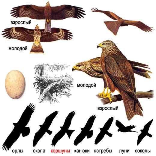 Черный коршун, или цыплятник, или щулика (устар.) — Milvus migrans