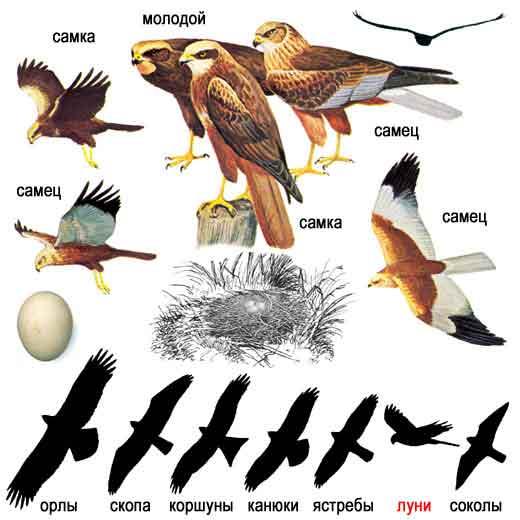 ...птицы средняя полоса, птицы с хохолком фото с названиями и птицы.