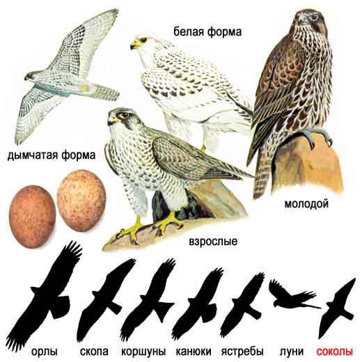 ...как хищные птицы различаются в полёте, это возможно поможет вам...