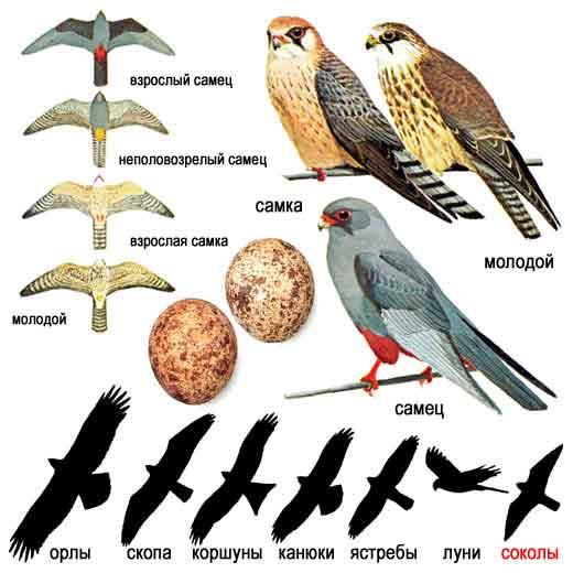 Кобчик — Falco vespertinus: описание и рисунки