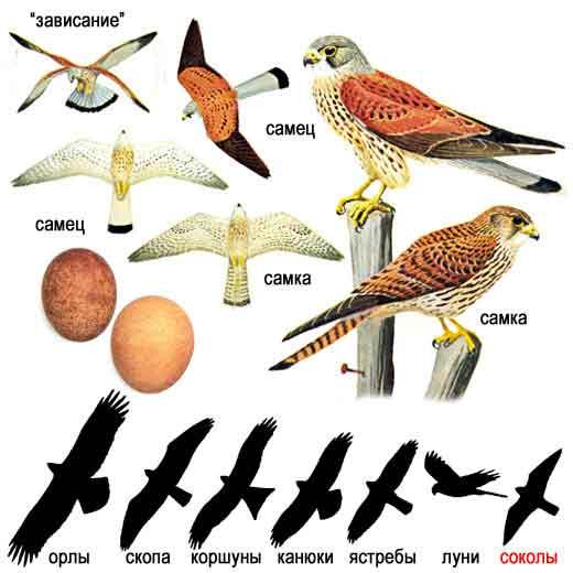 хищные птицы рода соколов, около 10 видов, в том числе