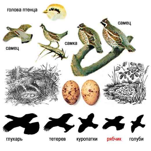 Рябчик — Bonasia bonasia