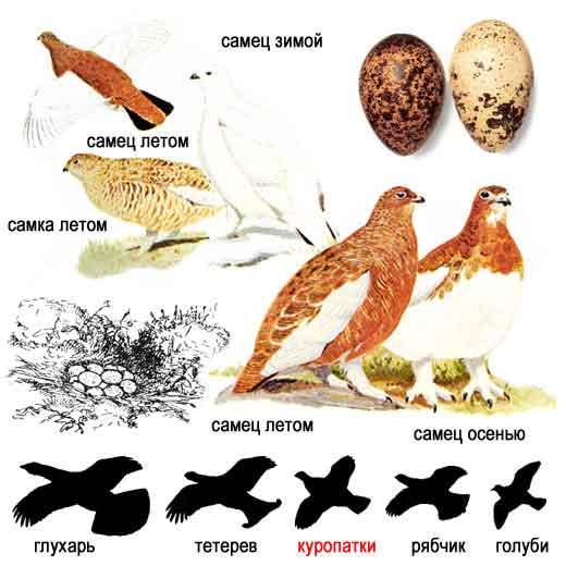 http://www.ecosystema.ru/08nature/birds/046.jpg