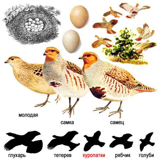http://www.ecosystema.ru/08nature/birds/048.jpg