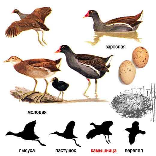 Водоплавающие птицы могут встречаться в самых различных местностях и...