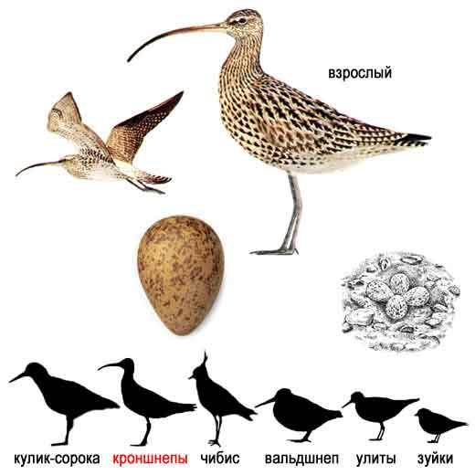 Большой кроншнеп — Numenius arquata