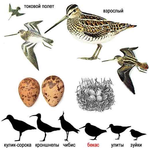 схема изготовление чучел птицы. смотрите а также боюсь ловить птицу в клетке, методы вакцинации птицы.