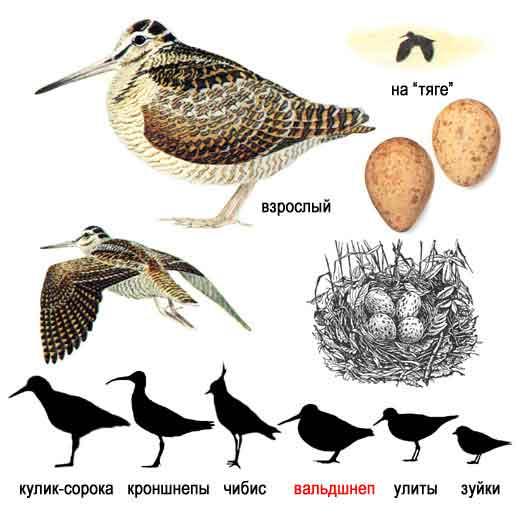 ...но иногда первые птицы встречаются и ранее.  В средней полосе первые.