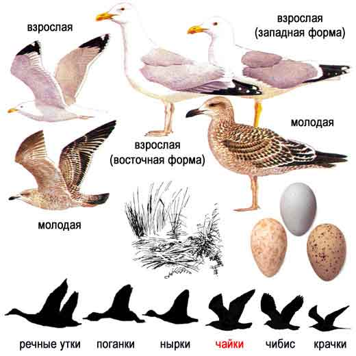 Серебристая чайка — Larus argentatus