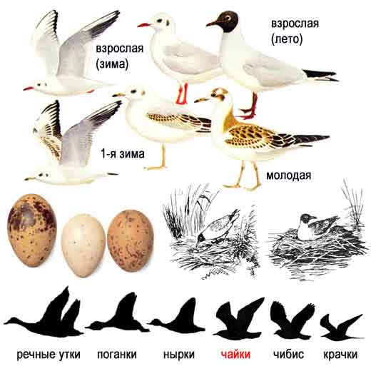Озерная чайка, или речная, или обыкновенная, или мартышка (устар.) — Larus ridibundus