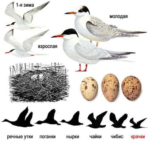 Птицы голоса птиц средней полосы