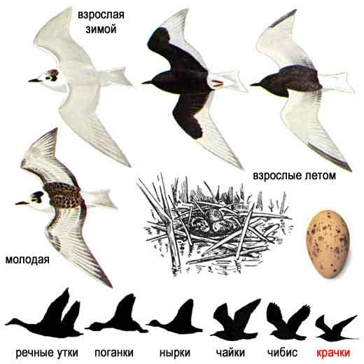 перелетные птицы средней полосы россии. смотрите а также Танец птиц.