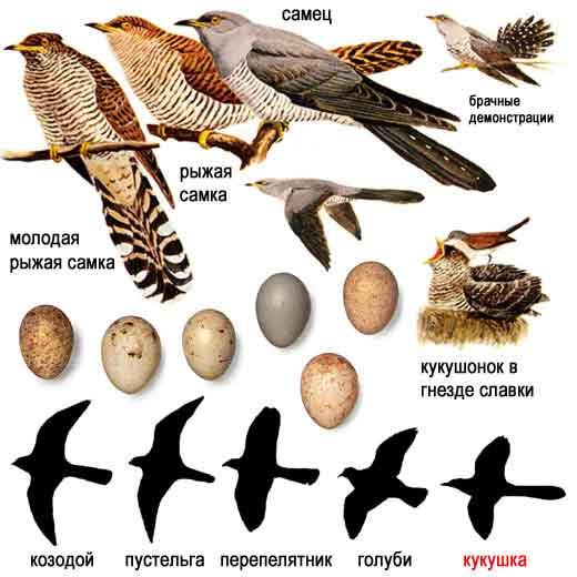 Обыкновенная кукушка.  Кәдімгі көкек.  Common Cuckoo. сортировать серии...