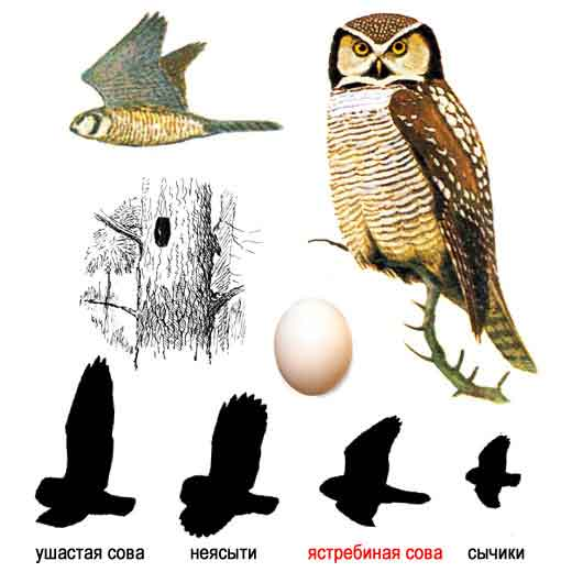 Картинки редких птиц.  Жар птица картинки.  Птица глухарь фото.