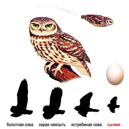Домовый сыч, или степной сычик (устар.)  - Athene noctua.