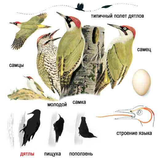 Определитель птиц: фото, описание, песня.
