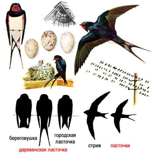 """Картинка 41 из презентации  """"Отряды птиц """" к урокам"""