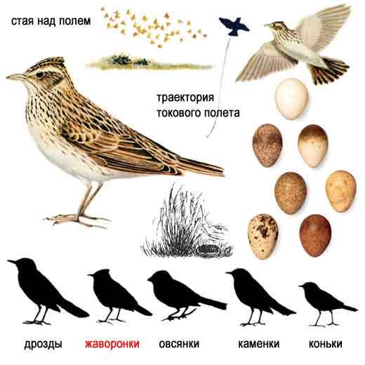 Картинка 15 из презентации Птицы к урокам биологии на тему Птицы.