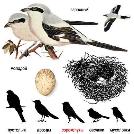 Mis on...  В 2010 году в Эстонии птицей года выбран Серый