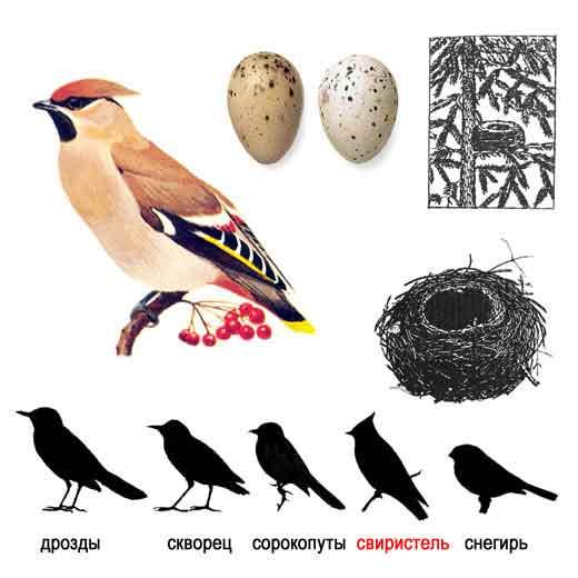 Это изображение вы увидете в категории: птица дрозд фото