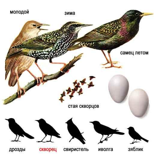 Короткохвостая, блестяще-черная птица размером с дрозда