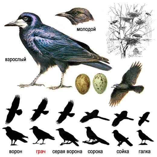 Клюв более тонкий, чем у вороны, и у взрослых птиц с