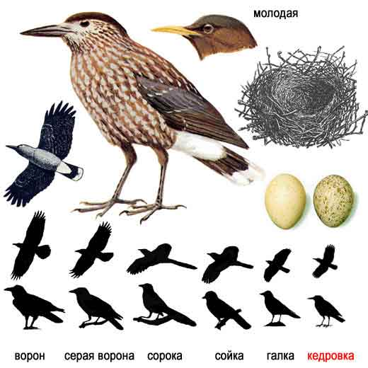 Замечательна такая черта этой птицы - запасание на зиму