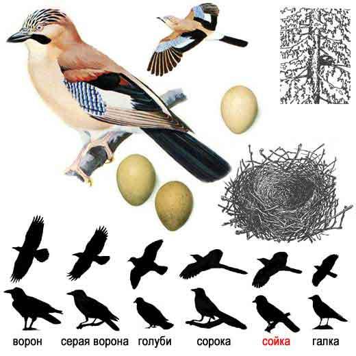 Лесные птицы с хохолком. смотрите и в норм кормления птиц зимой или.