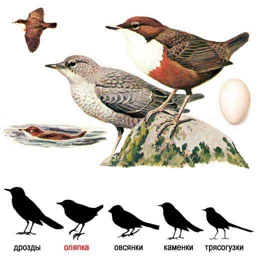 Темно-бурые птицы размером со скворца с очень густым