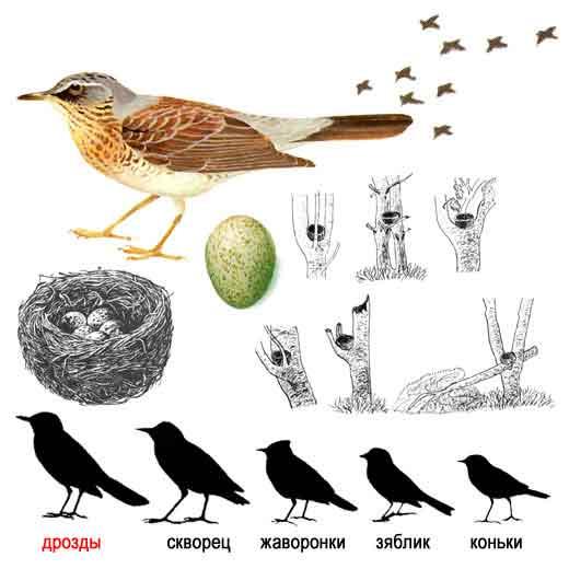 птица дрозд рябинник фото и описание