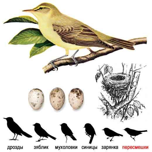 Большинство зябликов - перелетные птицы.  Многие из них зимуют в.