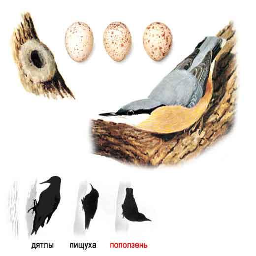 Певчие птицы средней полосы - Сборник файлов.